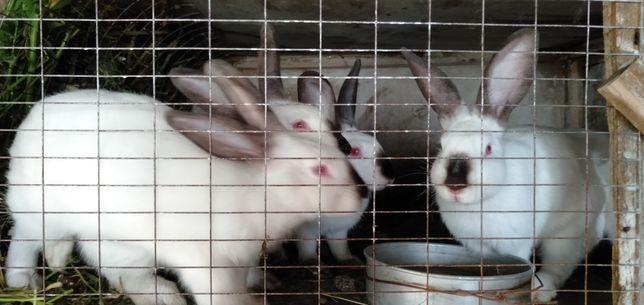 Кролики Калифорнийские, серый великан