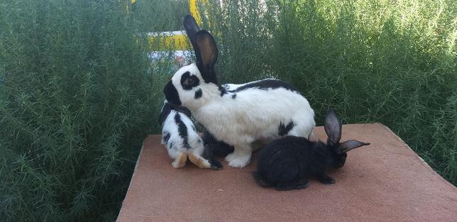 Продаётся мать с крольчятами вмести
