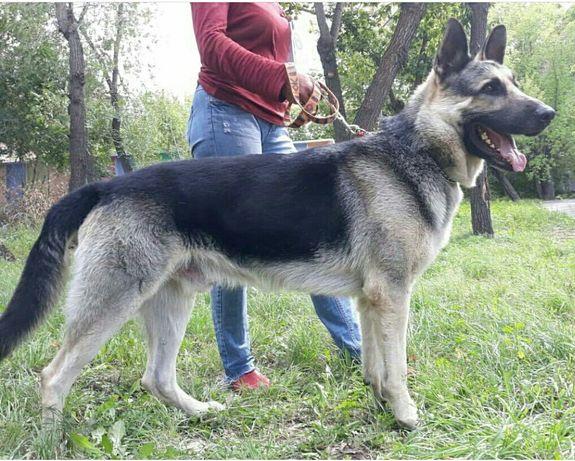 Восточноевропейская овчарка вязка, Кобель не продается.