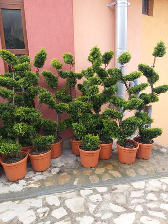 Copaci ornamentali si tuia