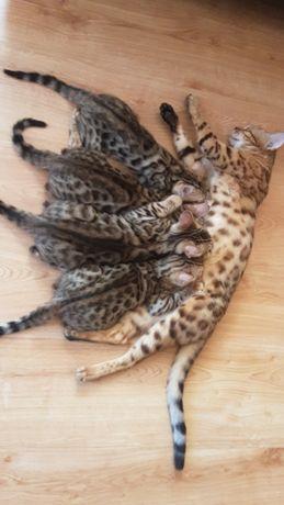 Продам котят бенгалов.