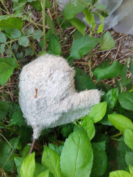 Куркултайдын уясы табиги ем ушин гнездо ремез