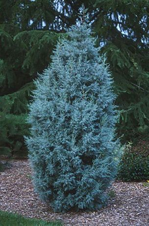 Chiparos ,ienupar gri albastrui arizonica si skyrocket