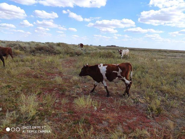 Продам телку и быка 1.5 года