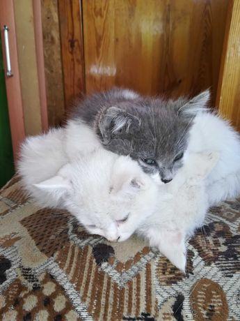 Продам белых котят!