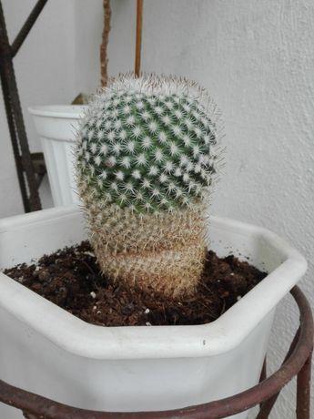 Саксия с кактус, неизвестен вид