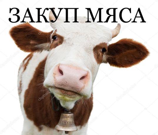 Старые коровы