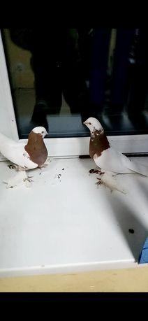 Продам голубеи капканы