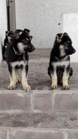 Продам щенков Восточноевропейской овчарки