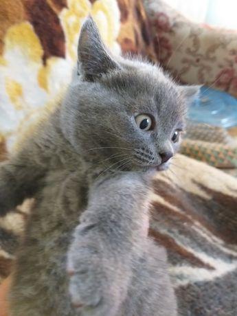 Британские котята,срочно