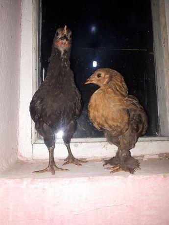 Продам цыплят месяцных