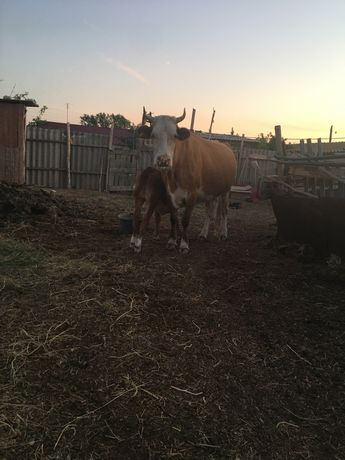 Корова молочный порода