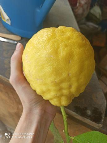 Лимон Пондероза, продам