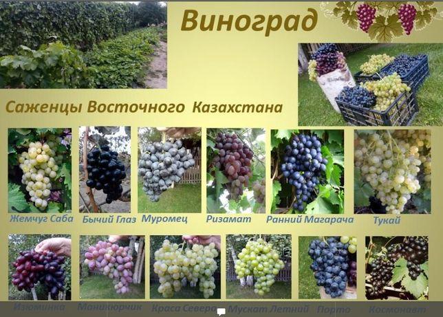 Саженцы Винограда на Осень