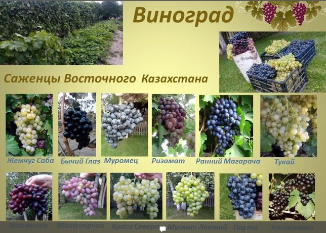Саженцы Винограда на Весну