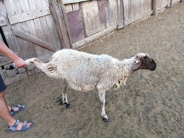 Бараны и овцы продам