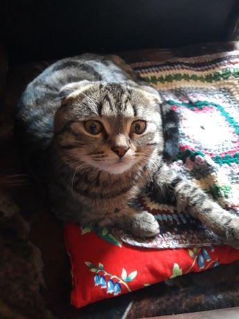Шотландский вислоухий кот. Вязка