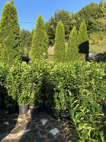 Prunus laurocerasus laur englezesc
