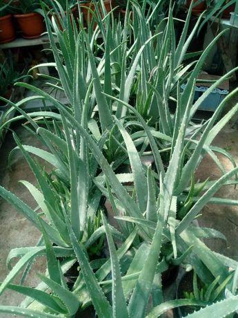 Planta Aloe Vera 2+1 gratis (30-60 lei, în funcție de mărime)