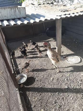 Квочка с цыплятами даканы