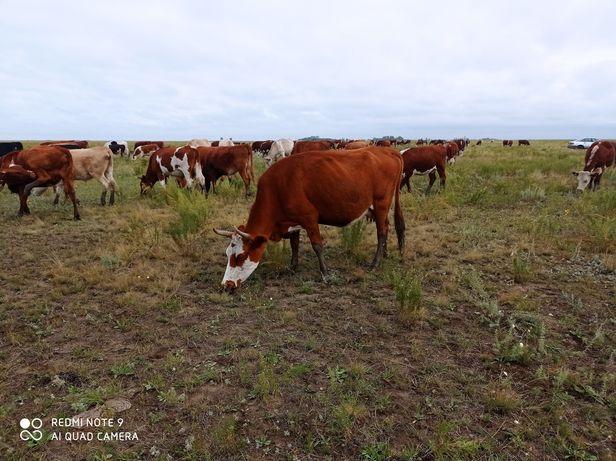 Продам коров с подсосными телятами