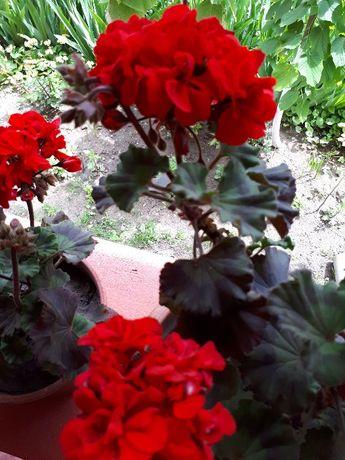 arbusti fructiferi.(coacazi,zmeuri) arbusti.budleia,buxus,hibiscus...