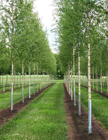 Copaci, Mesteacan Betula, Tei, Platan, Acer Tilia Artar Salcam Catalpa