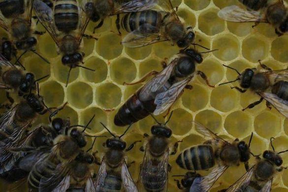 Лицензирана пчелна ферма продава-произвежда пчелни майки и отвотки