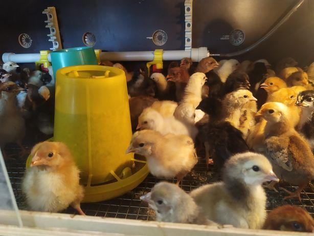Цыплята суточные домашние разноцветки несушки в городе балапан