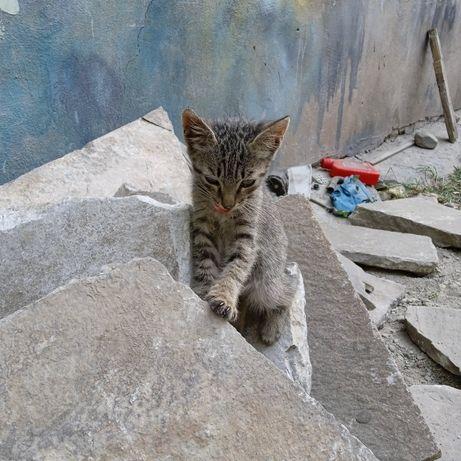 Продам котенка.породистый