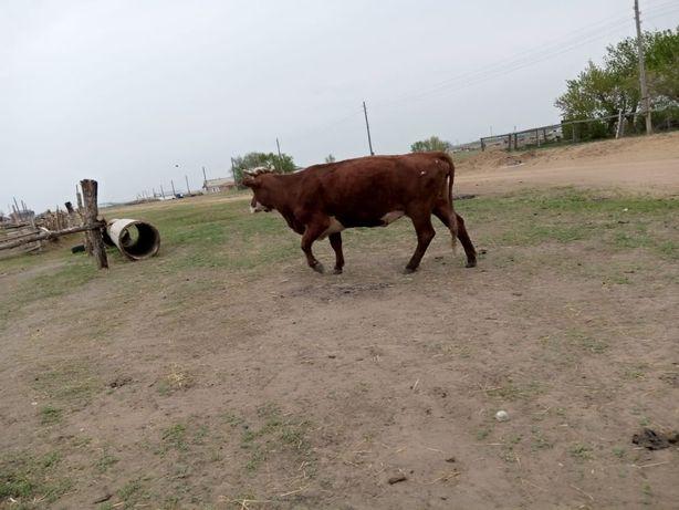 Продам корову Продам