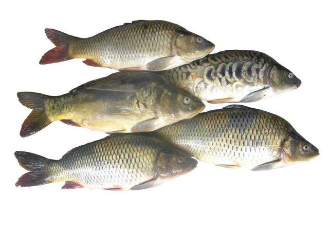 Свежая рыба сазан карп балык