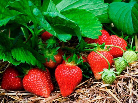 """продавам разсад целогодишни селски ягоди и сорт """"Алба"""""""