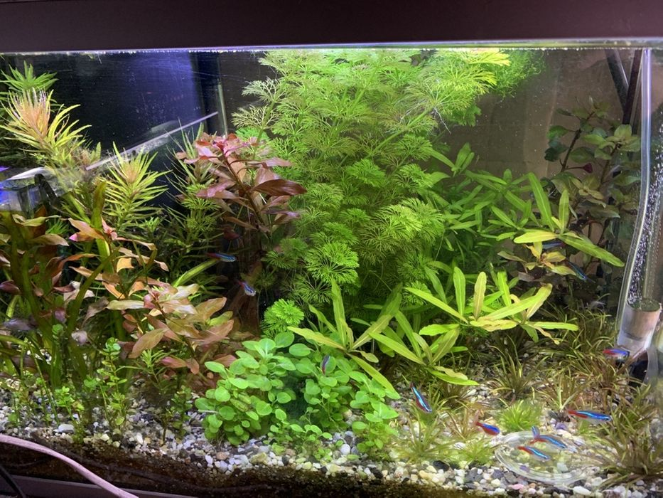 Plante acvariu Campina - imagine 1