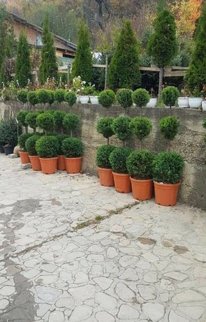 Vand transport plante ornamentale