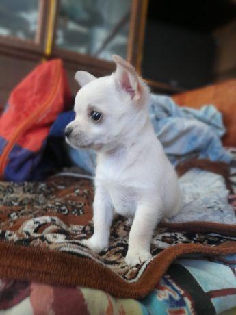 Активный чихуахуа мальчик мини