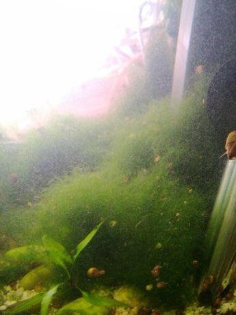 Ямайски мъх за аквариум