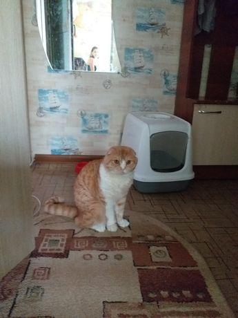 Продам кота шотландец вислоухий