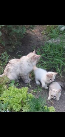 Отдам породистых котят в хорошие руки