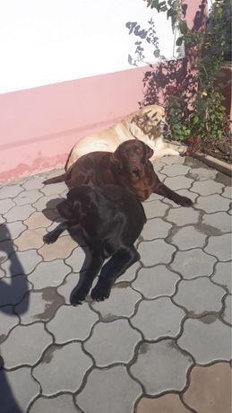 Vand pui Labrador vaccinati si deparazitati