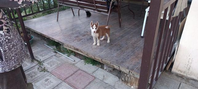 Хаски собака девочка