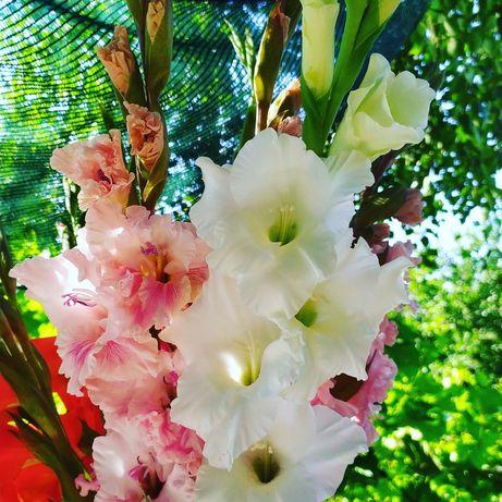 Живые цветы гладиолусы
