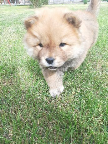 Vand catei chow-chow