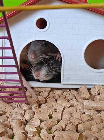 Домашние крысы: мальчик и девочка