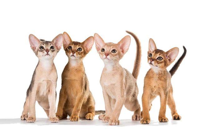Зеленоглазые Абиссинские котята Дикого окраса Фавн, Соррель.