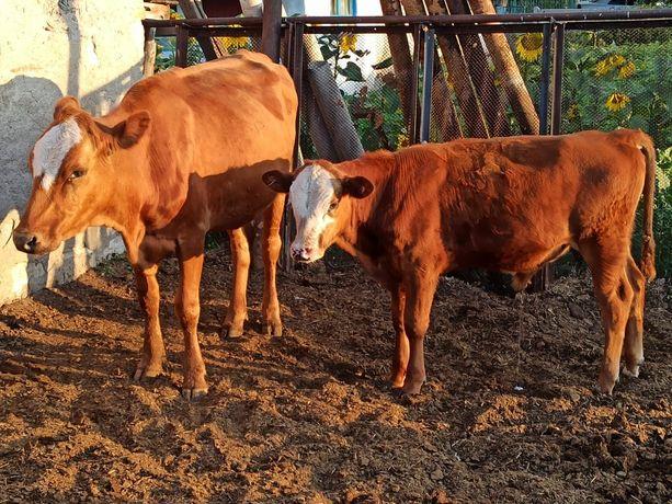 Продам дойных молодых коров и телят, на развод