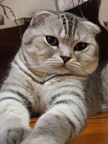 Кот скотиш фолд ждёт ваших кошечек