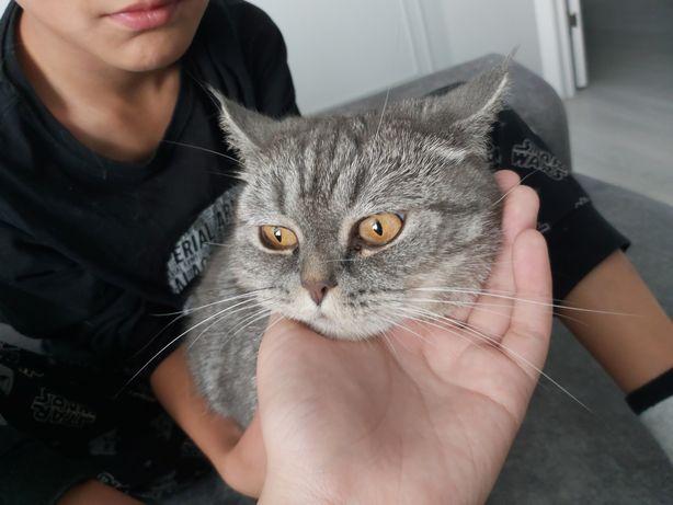 Кошка британская самка