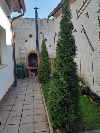 2 x Tuia plantati de 2-2,5 metri