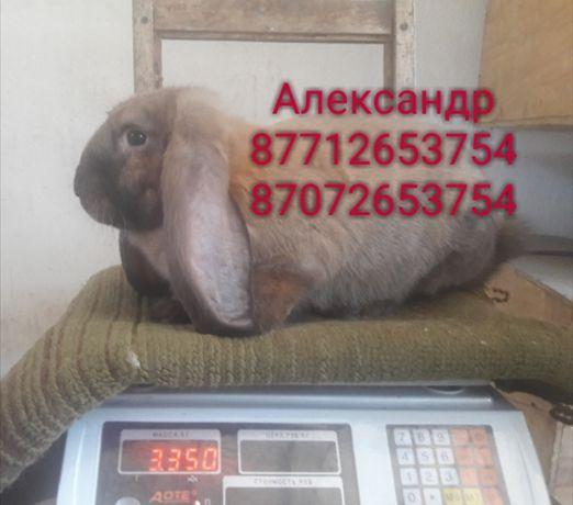 Продам кроликов молодняк породы Фландер, Французский баран